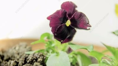 Pansy flowering, timelapse
