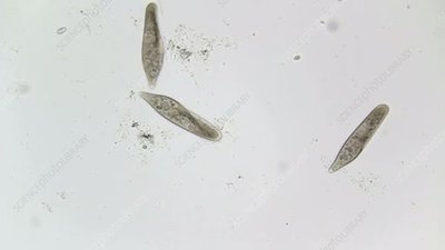 Paramecium feeding, light microscopy