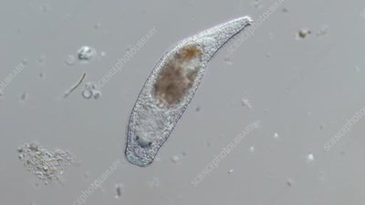 Turbellarian flatworm, light microscopy