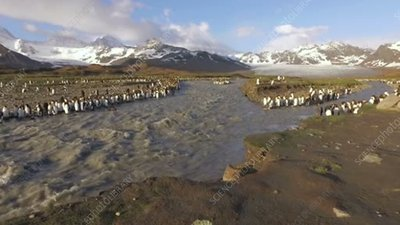 King penguins by meltwater stream