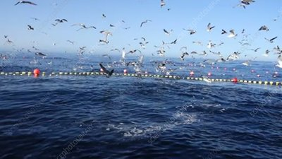 Birds at a bluefin tuna fattening pen