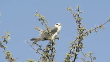 Black-shouldered kite tail flicking