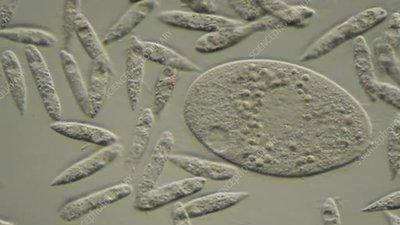 Flagellates and ciliate