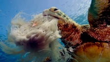 Green turtle eating jellyfish
