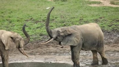 Forest elephants play fighting