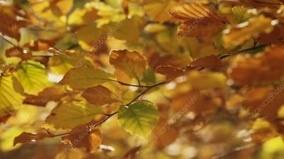 Beech leaves in autumn