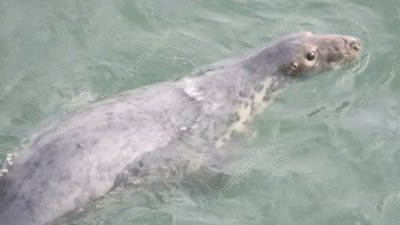 Grey seal in water