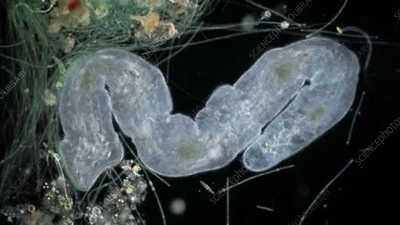 Microstomum lineare aquatic worm