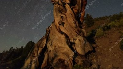 Bristlecone pine and night sky, time-lapse footage