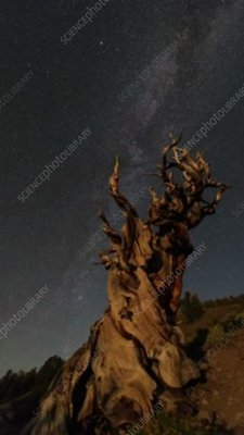 Bristlecone pine and star trails, time-exposure footage