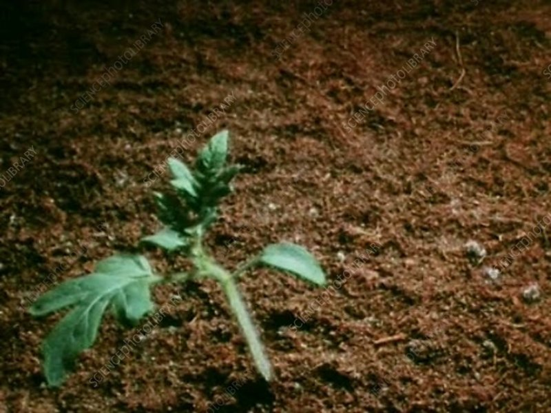 Tomato plant growing, time-lapse footage