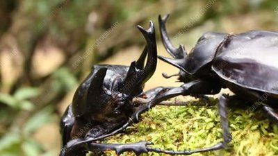 Male rhinoceros beetles fighting