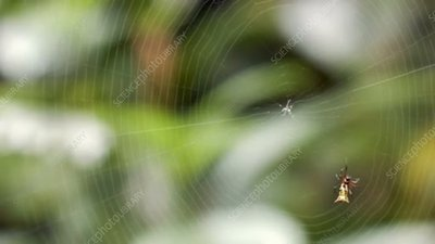 Spider weaving web, timelapse