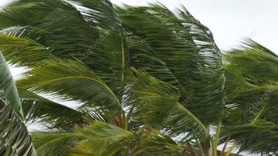 Palm trees blowing in wind