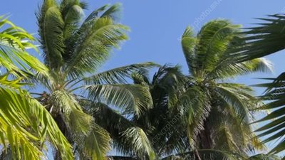 Palm trees blowing in breeze