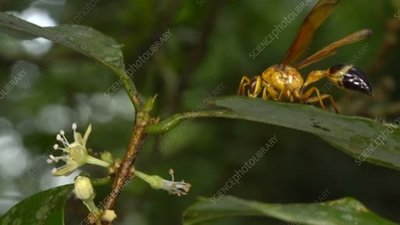 Wasp grazing on a leaf