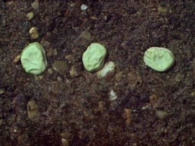 Seeds germinating underground in soil, time-lapse footage