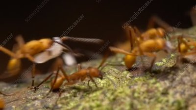 Army ant workers and soldiers
