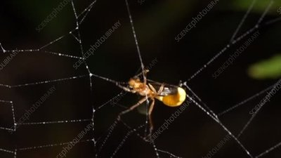 Insect caught in a spider web