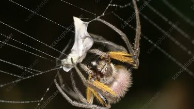 Spider wrapping its prey