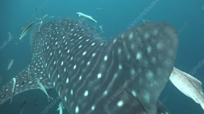 Whale shark and fish, Thailand