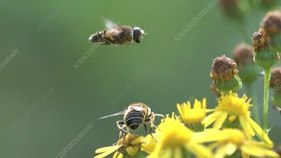 Hoverfly mating display