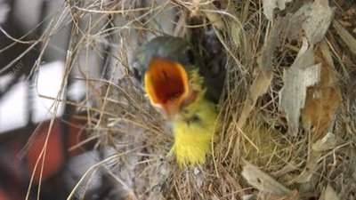 Olive-backed sunbird chick