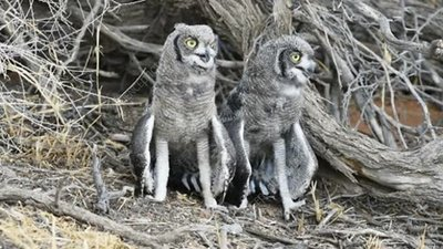Spotted eagle owls thermoregulating