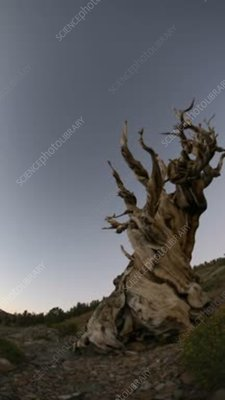 Bristlecone pine and Milky Way, time-lapse footage