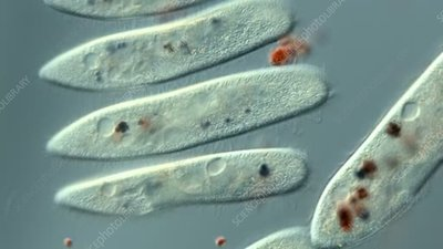 Paramecium fed on stained yeast