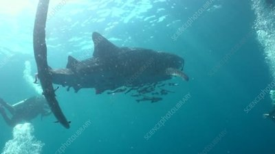 Whale shark with injured tail