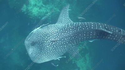 Whale shark with damaged tail