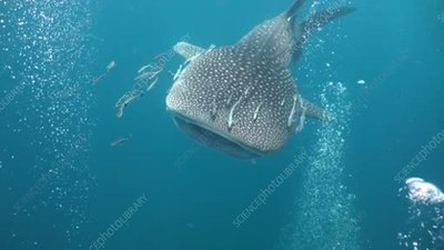 Whale shark swimming through bubbles