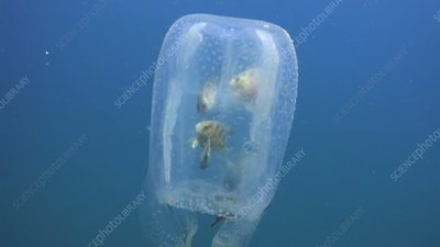 Fish in box jellyfish bell