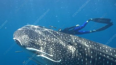 Whale shark with free divers