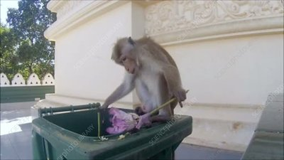 Toque macaque eating from a bin