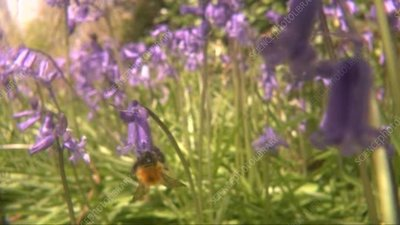 Bumblebee feeding on bluebell flowers, high-speed footage