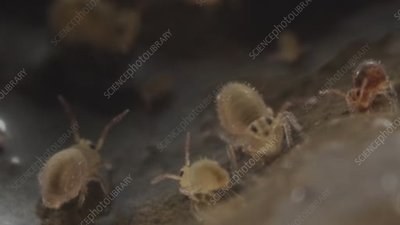 Globular springtails, light microscopy footage