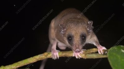 Mouse opossum on plant stem
