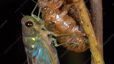 Newly-emerged adult cicada