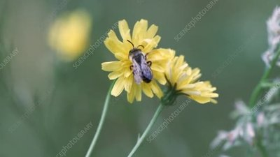 Bee on hawkbit flowers