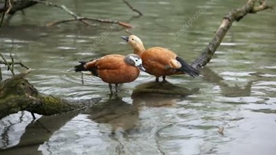 Cape shelducks