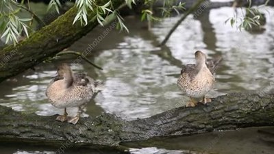 Female pintail ducks preening