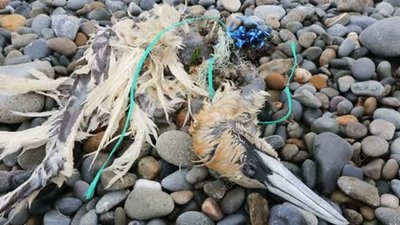 Gannet killed by plastic waste