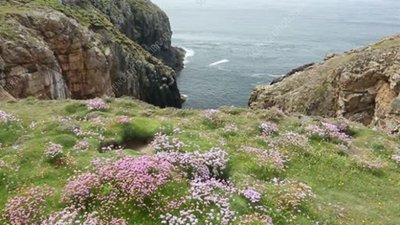 Thrift flowers on cliffs