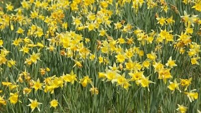 Daffodils flowering