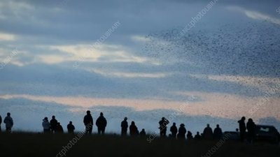 Crowd watching murmuration of starlings