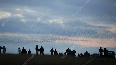 People watching starling murmuration