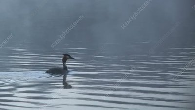 Crested grebe on lake