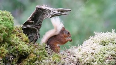 Red squirrel nibbling food